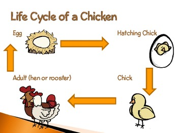 life cycle of a chicken pdf